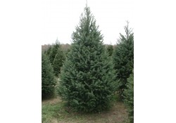 If you've grown up with the tradition of having a fresh-cut Christmas tree in yo