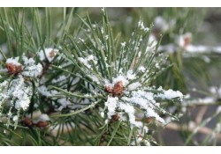 recycle fresh christmas trees