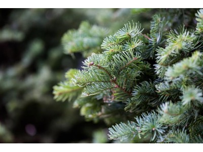 Fresh Christmas Trees Delivered