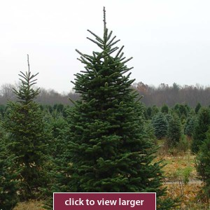 8ft Fir Tree
