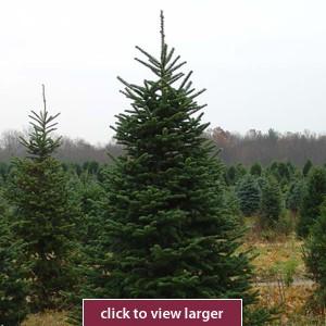 8ft Fir Tree