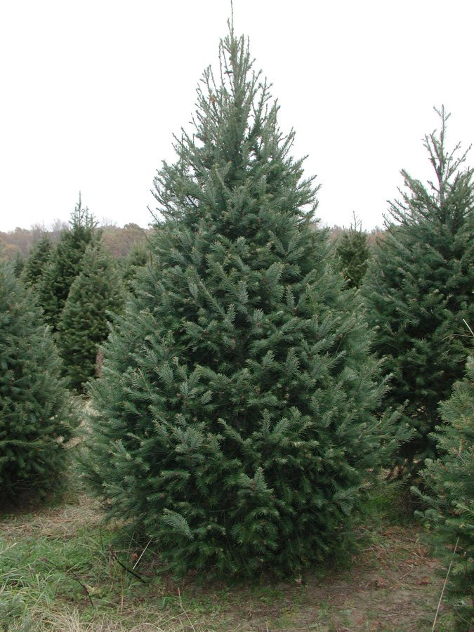 Douglas Fir Christmas Tree Fresh Christmas Wreaths