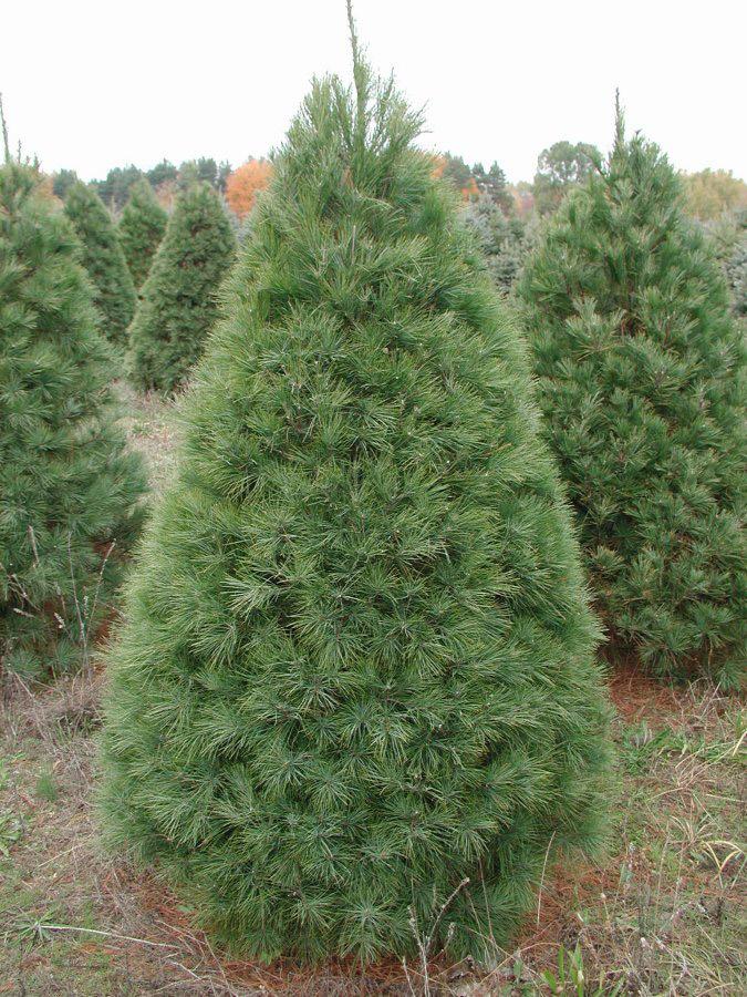 White Pine Christmas Tree | Fresh Christmas Wreaths