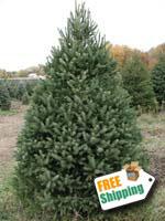 white spruce christmas tree - White Spruce Christmas Tree