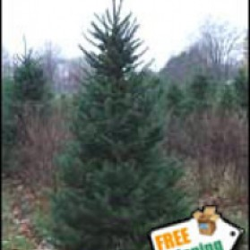 Canaan Fir Christmas Tree