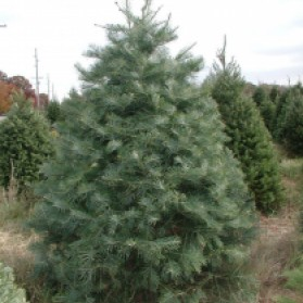 Concolor Christmas Tree