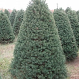Scotch Pine Christmas Tree