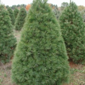 White Pine Christmas Tree
