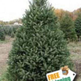 White Spruce Christmas Tree
